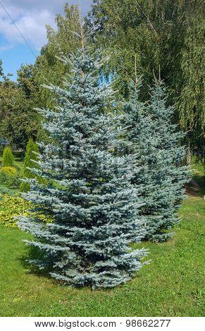 Colorado Blue Spruce In The Garden
