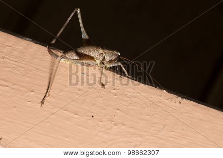House Cricket Crawling On A Wooden Beam