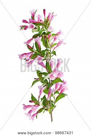 Weigela Branch