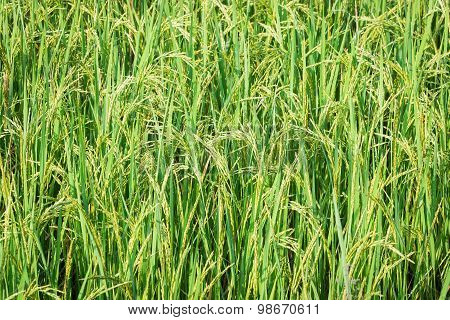 Rice field in Thailand , yellow and green.