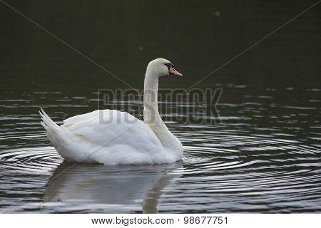 Beautiful wild bird swan