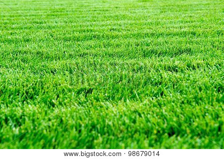 Fresh Green Spring Grass Close Up