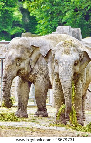 Large Indian Elephants.