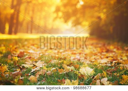 fallen autumn leaves on grass in sunny morning light