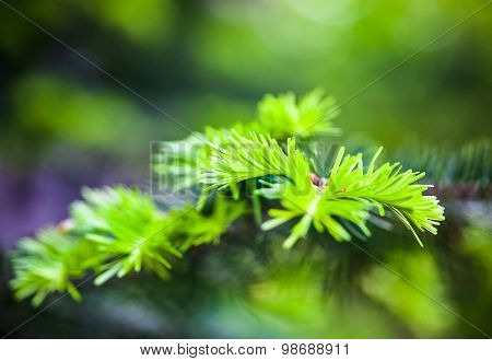 Coniferous Branches With Young Light Green Shoots