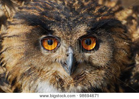 Spotted Eagle-owl - Bubo Bubo