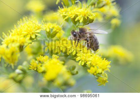 Bee Between Yellow Flowers