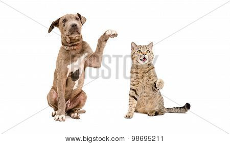 Funny puppy pit bull and  cat Scottish Straight