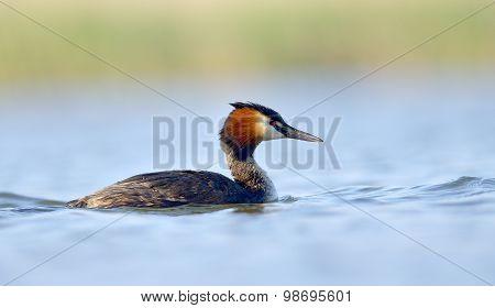 Water Bird On The Water (podiceps Cristatus)