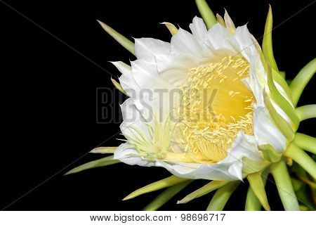 Dragon fruit flower on blooming (hylocereus cactaceae)