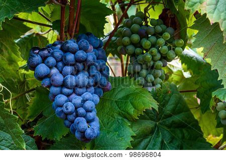 Isabella Grapes Growing On A Branch In A Vineyard