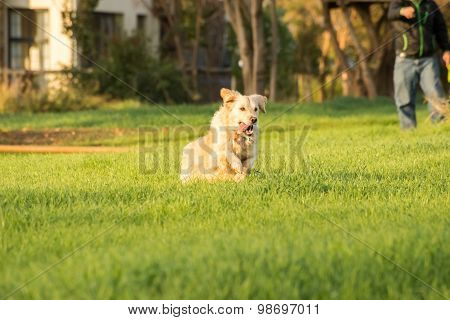 Golden Retriever Fetching Ball