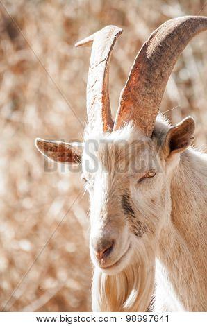Saanen Billy Goat
