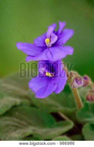 Violette Blüte (Viola Odorata)