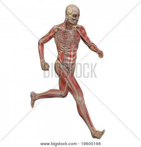 High resolution conceptual 3D human ideal for anatomy,medicine and health designs, isolated on white background. It is a man made of a skeleton, muscles and a transparent body as in a x-ray