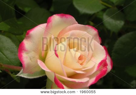 A Single Tipped Rose