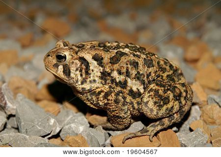 A brown toad sitting on rocks