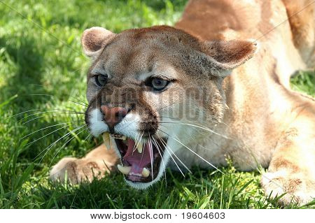 A mean growling mountain lion under a tree on a sunny day