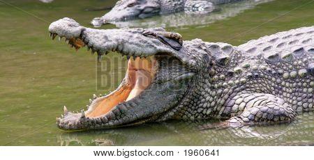 Crocodile Waiting Ffor Ood