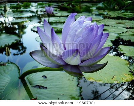 Close-up blooming white-violet lotus