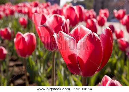 Red tulips in a sun day.