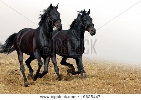 caballos negros