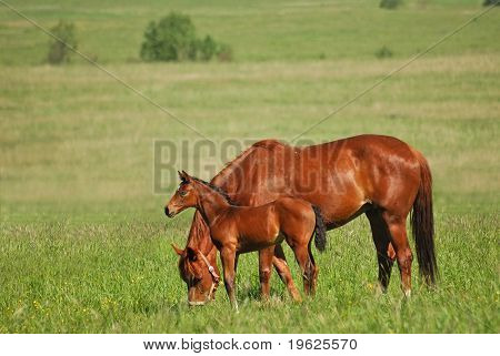 Red mare and red colt