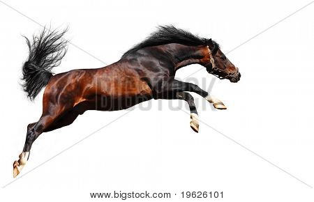 arabian chestnut stallion