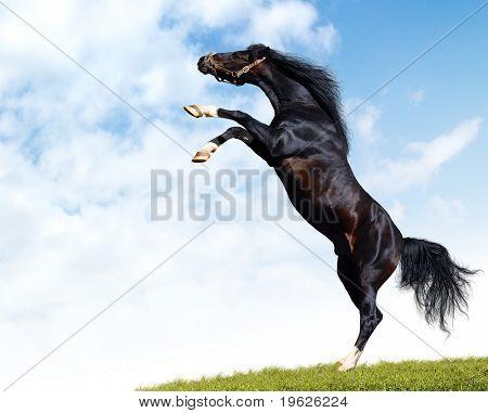 arabian black horse rears
