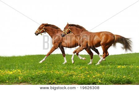 sorrel foals gallop - isolated on white