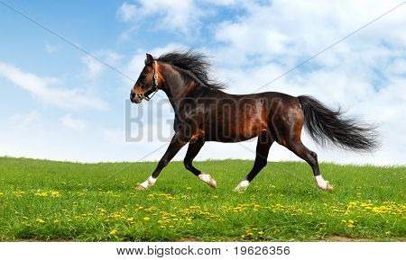arabian horse trots - realistic photo-montage