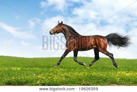 Hannoversche Pferd Trots - realistische Foto-montage