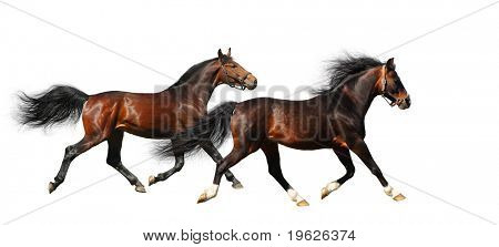 two stallions trot - isolated on white