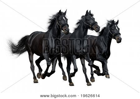 black horses isolated on white