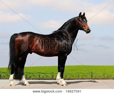 chestnut trakehner stallion - horse form