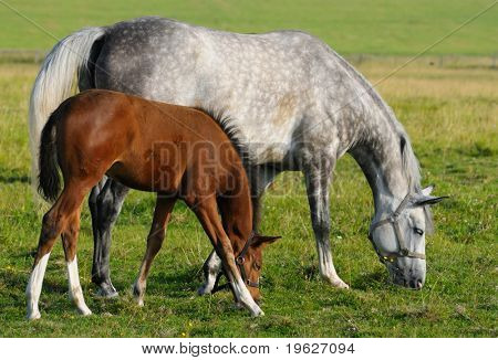 Dapple-gray mare and bay foal