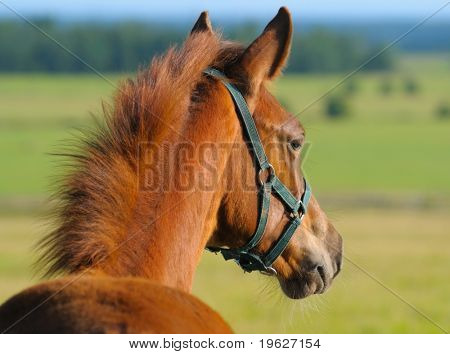 Chestnut trakehner foal in field