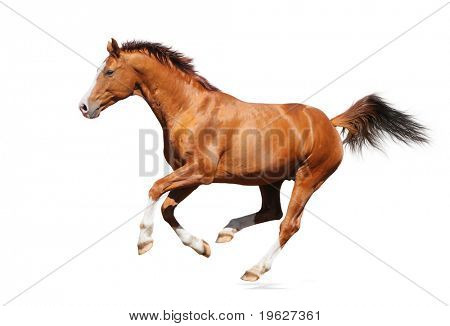 Gallop horse - sorrel trakehner stallion isolated on white