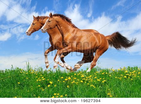 Two trakehner sorrel stallions gallop in field
