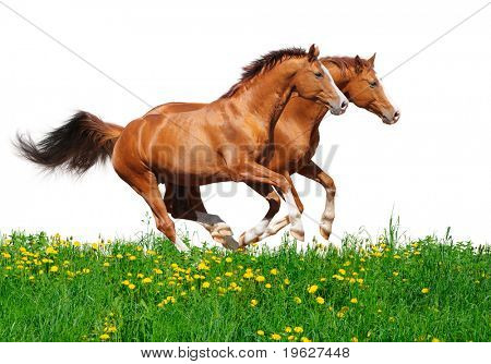 Two trakehner sorrel stallions gallop in field - isolated on white