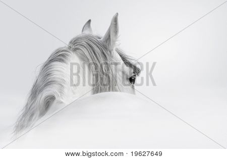 Gray Andalusian horse in a mist