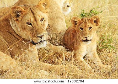 Leões de Masai Mara