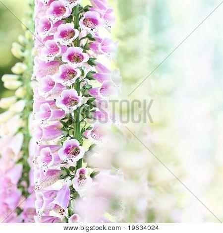 Beautiful pink digitalis or foxglove flowers in spring summer garden on blurry bokeh background