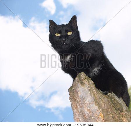Black Cat on skyblue background (look ahead)