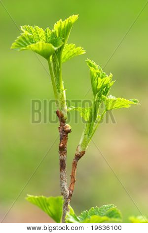 the fresh shoots of a plant (currant)