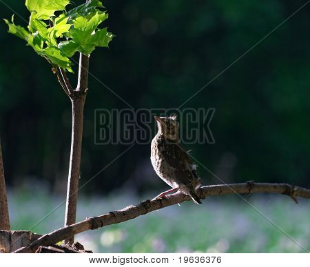 nestling of song-thrush