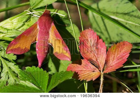 Red butterfly and red leaf. Deilephila porcellus (Linnaeus, 1758)