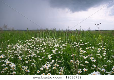 Shot of camomile field before cloudburst