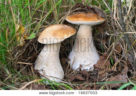 Mushroom couple (Closeup of two cep mushrooms. This is a Cep (Boletus edulis) - king of pore fungi.)