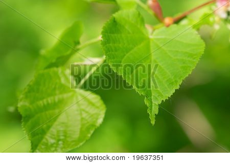 Lime tree green leaves (shallow focus)